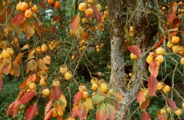 Persimmon Tree (IT-8922)